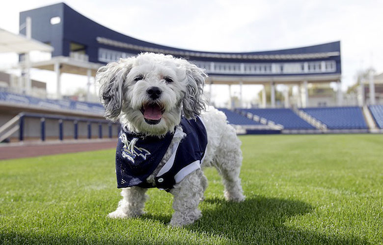 "In this Feb. 22, 2014 photo, Milwaukee Brewers mascot, Hank, is at the team's spring training baseball practice in Phoenix. The team has unofficially adopted the dog and assigned the name ""Hank"" after baseball great Hank Aaron. (AP Photo/Rick Scuteri)"