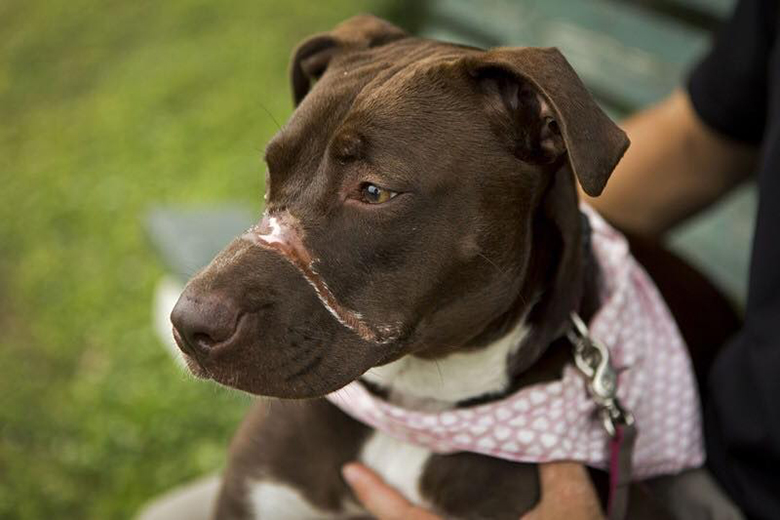 Caitlyn pit bull abused