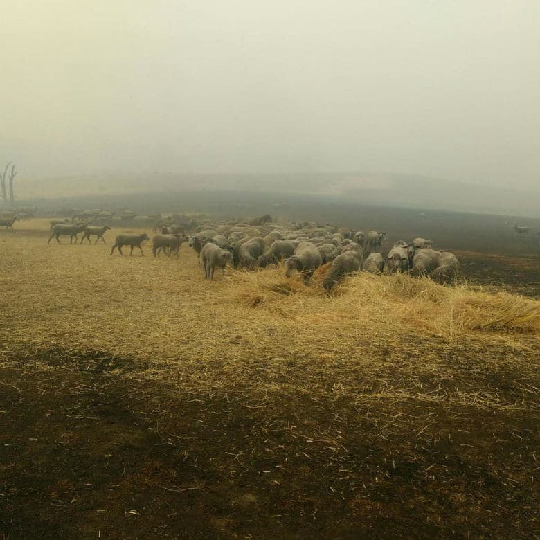 sheep in australia fires