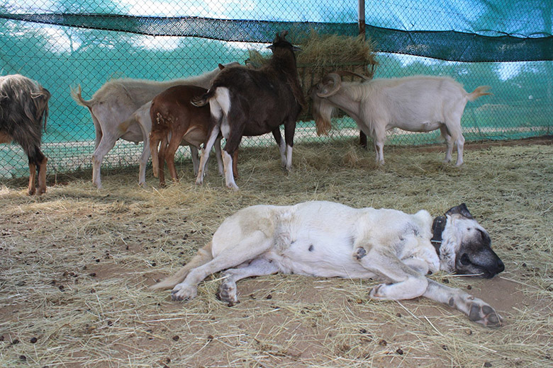 Dogs protect livestock from cheetahs 12 S