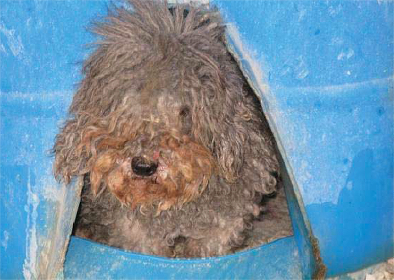 A severely matted poodle was among the dogs at Mikhail Raylyanu's facility, which received an official USDA warning for failure to provide veterinary care. Photo by USDA
