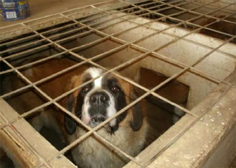 This dog was living in a small, cramped enclosure at Dan De Boer's facility. Photo by USDA