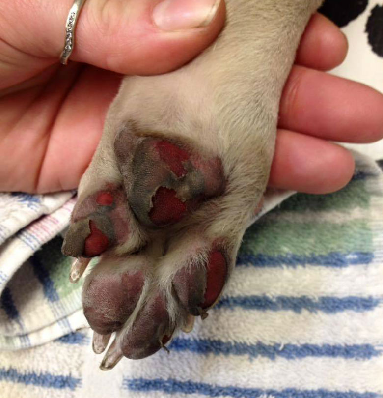 Can Dogs Get Rug Burn On Their Paws: How To Prevent Your Dog's Paws From Getting Burnt This