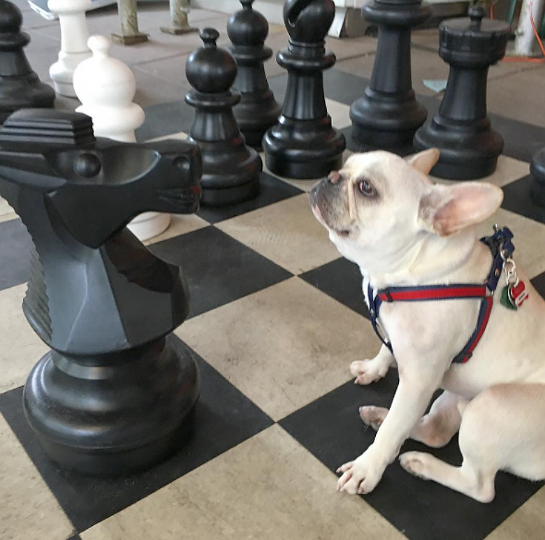 French bulldog named Walter getting in on a game of chess. Image courtesy of Instagram/Winston_Frenchie