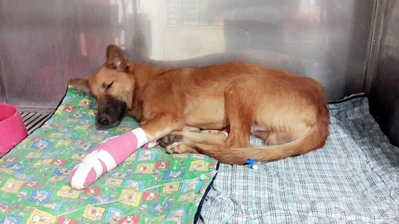 Cola in recovery. Image via Soi Dog Foundation.