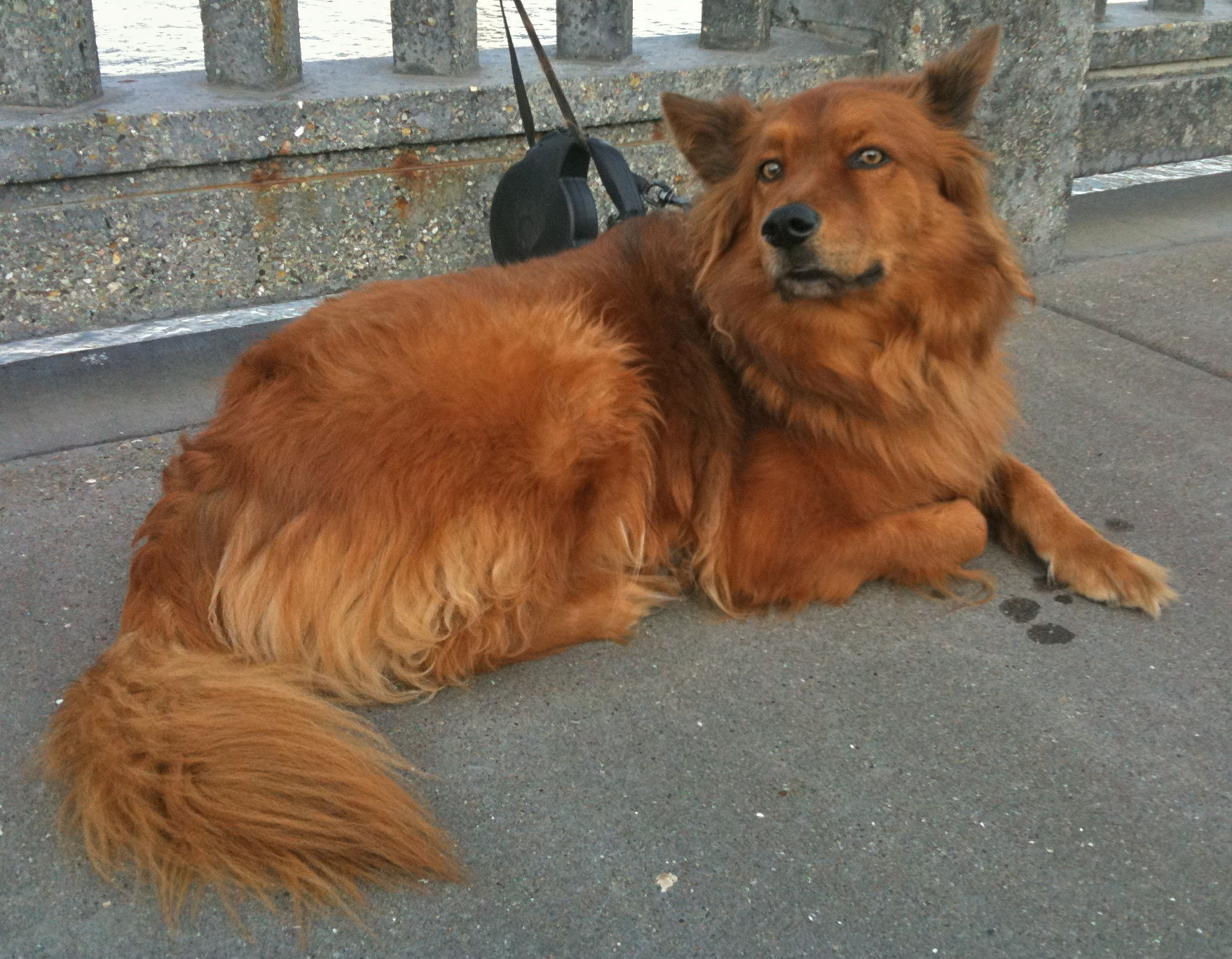 Caption: The words for fox in Irish are, literally, 'red dog' ('madra rua'). This must be the one they were thinking of. Image credit: The Dogs of San Francisco