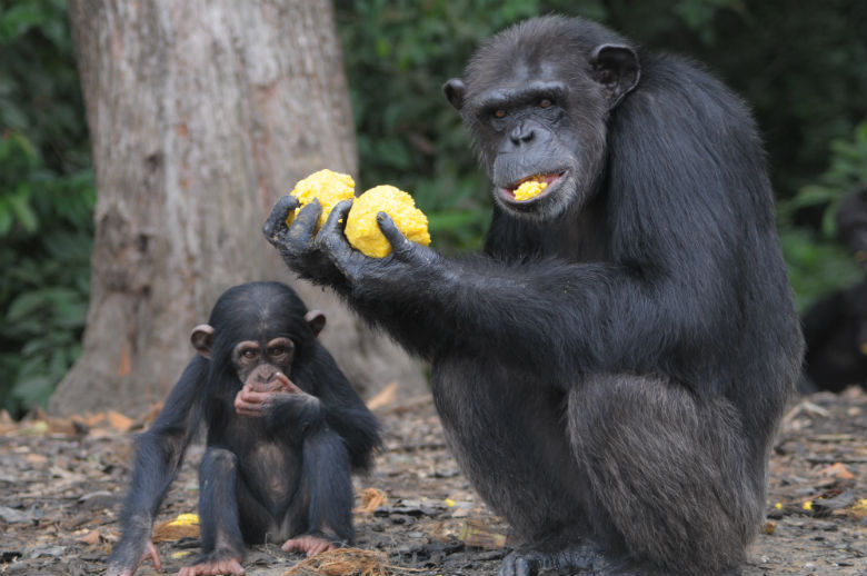 Chimps used for research . Image via Jenny Desmond