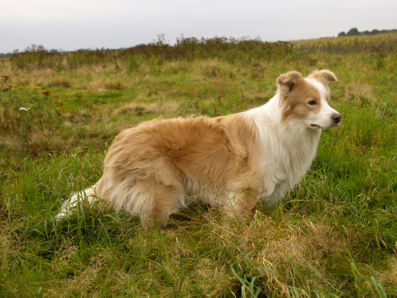 Golden border collie