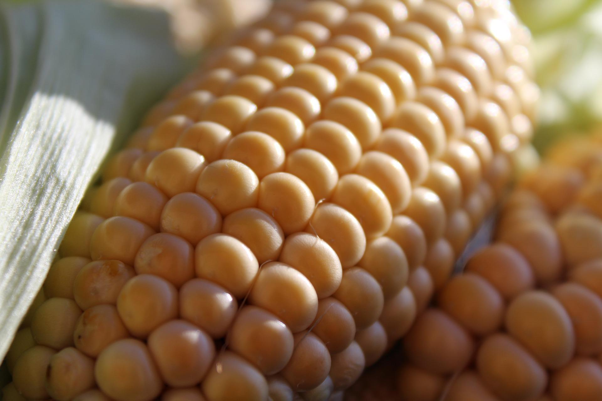 corn-on-the-cob-1712739_1920