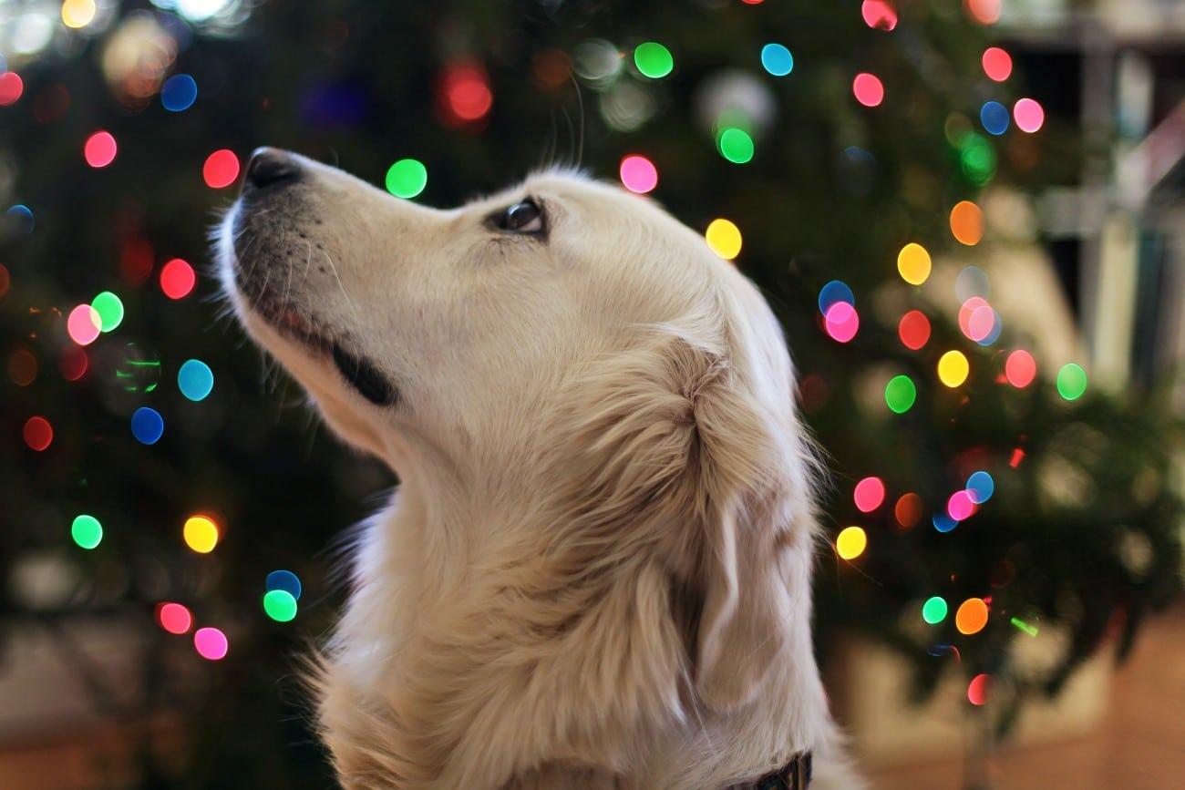 Keeping your dog safe during the holidays and apps