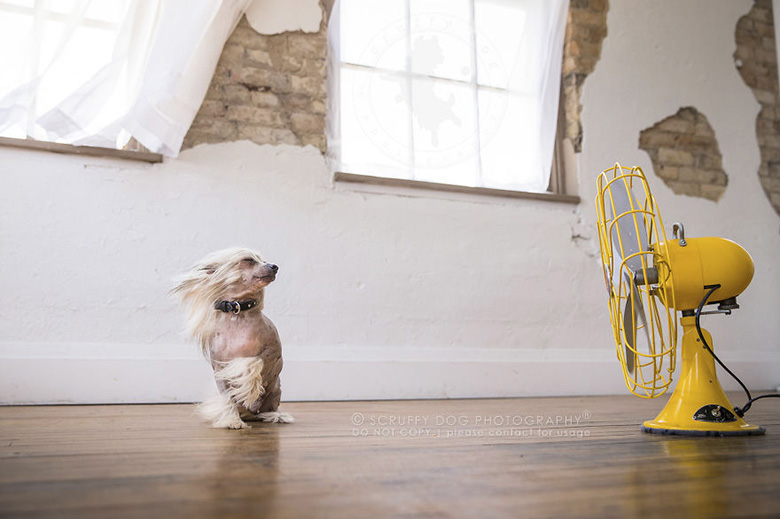 A Chinese crested dog named Sofie, the perfect model.