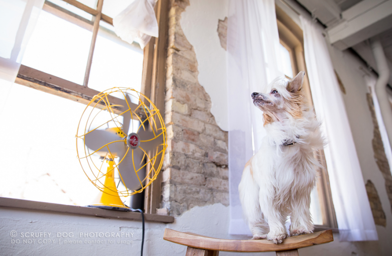 Viva, another Chinese Crested. Image Credit: Scruffy Dog Photography