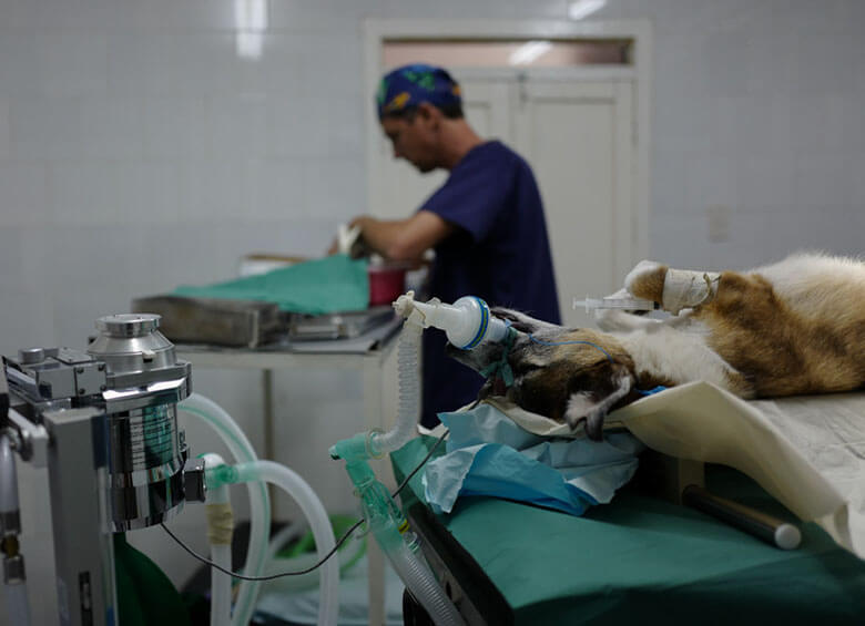 An anesthetized dog undergoes sterilization surgery in the operating room of Aniplant, Cuba. Image Credit: Ralph Quinonez