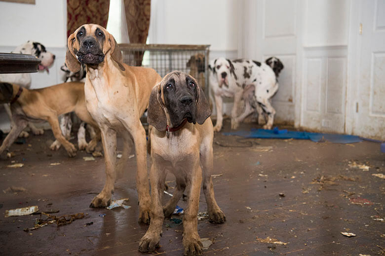 More Than 80 Great Danes Rescued From Puppy Mill Mansion This