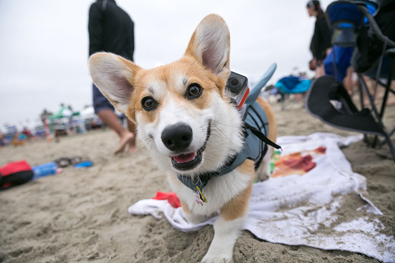 SoCal Corgi Event 1