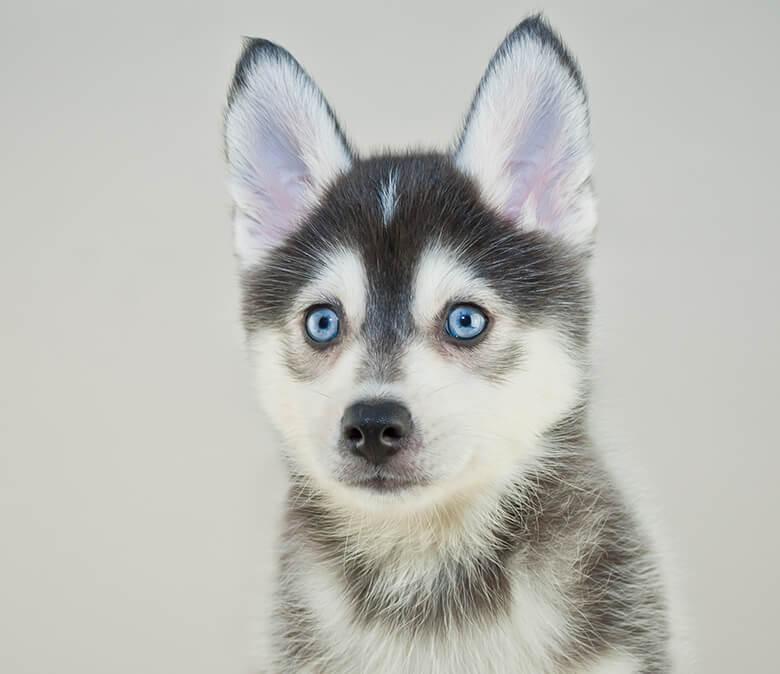 Amazing Pom Canine Adorable Dog - Pomsky  Perfect Image Reference_738767  .jpg