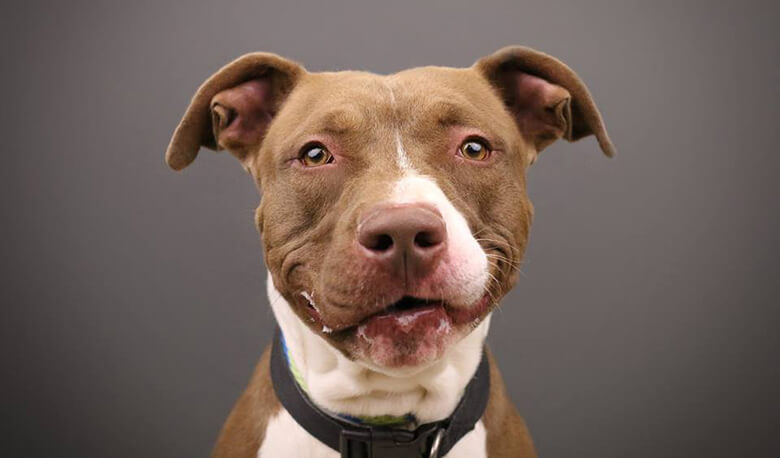 should pit bull terriers be banned The law prohibits anyone in ontario to breed, buy, or sell pit bulls, defined as pit bull terriers, staffordshire bull terriers, american staffordshire terriers, american pit bull terriers, and.
