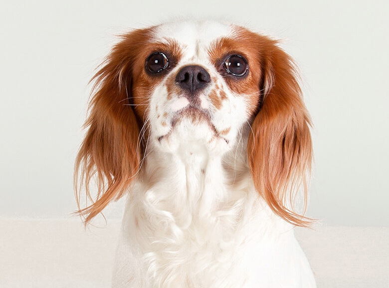 Simple Cavalier Canine Adorable Dog - Cavalier-King-Charles-Spaniel-3  Pictures_568060  .jpg