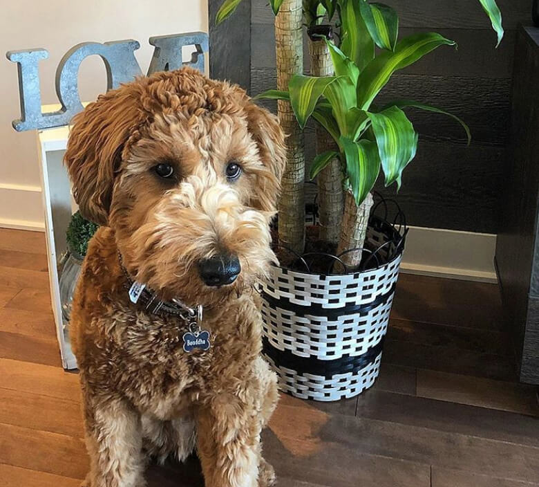 5 Doodle Breeds You Need To Get On Your Radar Asap This Dogs Life