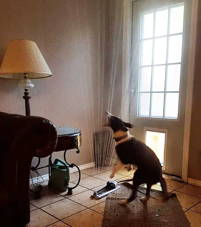 Border Collie Drags Sprinkler Into Living Room Completely Soaking Everything