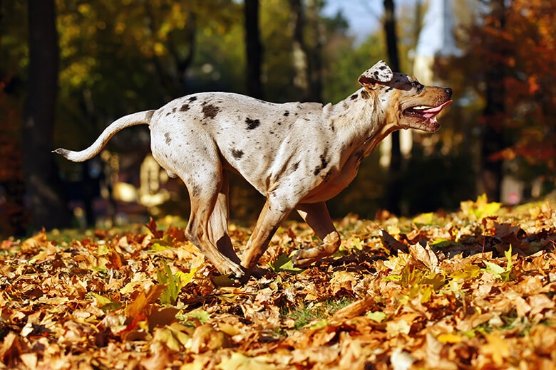 What You Need to Know About the Catahoula Leopard Dog