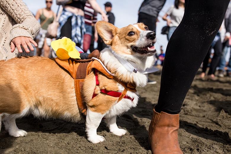 Hundreds of Corgis Descend on San Francisco Beach for Corgi Con
