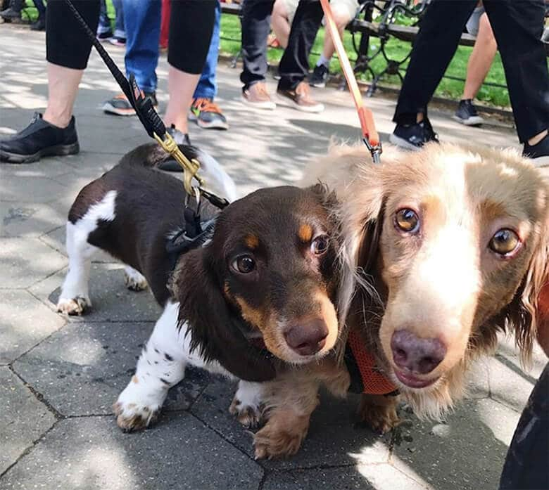 Hundreds of Doxies Descend on Park for Annual Meet Up