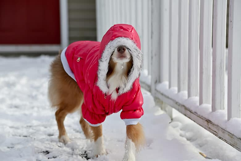 What to Do When Your Dog Absolutely Refuses to Wear a Coat