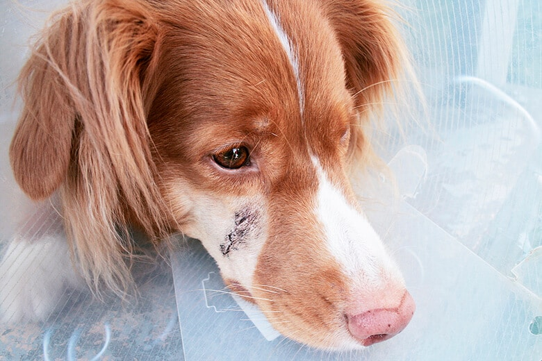 How to Help Your Dog's Scar Heal