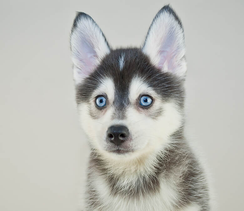 The Adorable Pomsky: Everything You Need to Know About the Pomeranian-Husky  Miniature