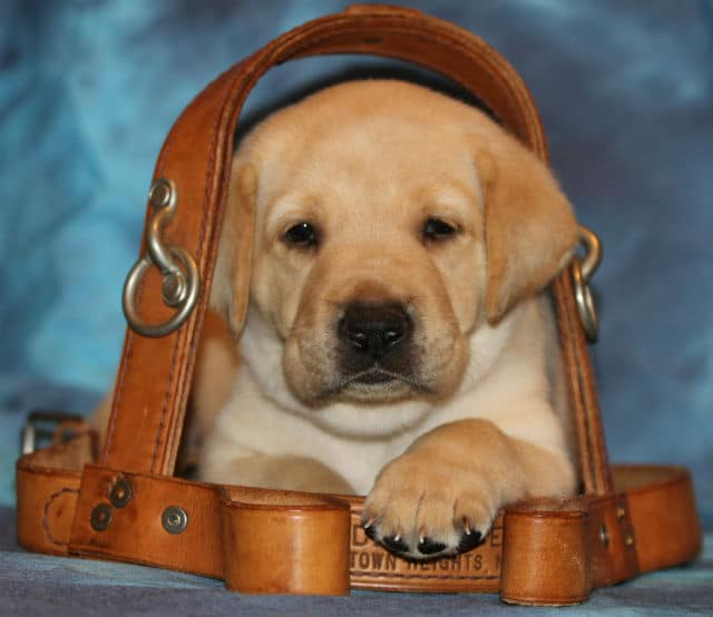 What It Takes to Be a Guide Dog