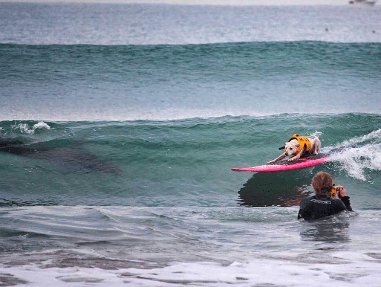 Yikes! A Surfing Dog Rides Wave With Shark
