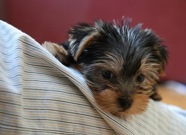 Yorkie Photo Credit: SKimchee Flickr