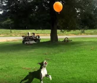 boston terrier and balloon