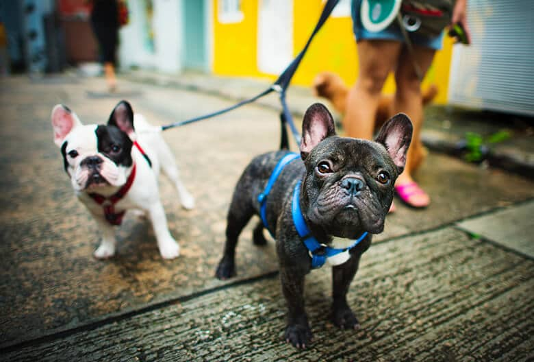 Love the French Bulldog But Worried About Health Issues? Here Are 5 Alternative Breeds to Consider.