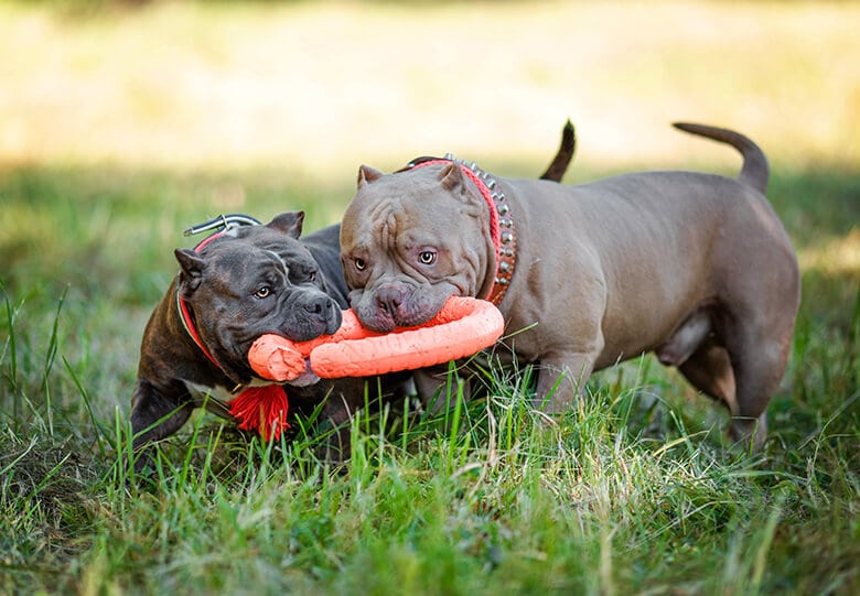 Too often people group together a number of breeds under the term pit bull.
