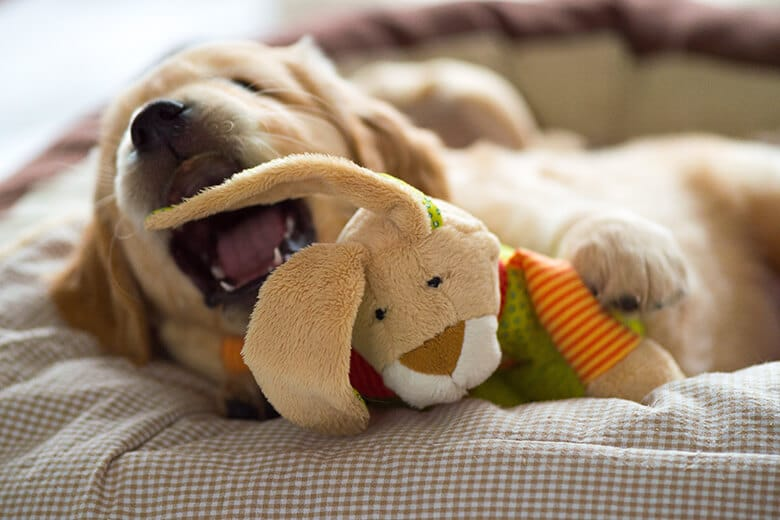 Golden Retriever puppy playing with his plush bunny in his cozy