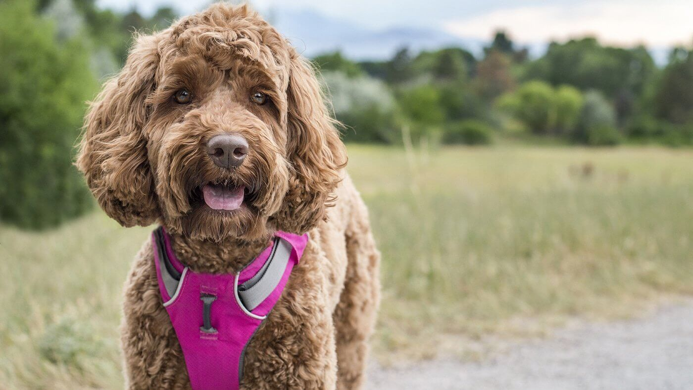 Finding the Perfect Harness for Your Dog