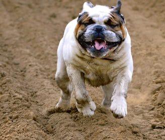Smelly Dog English Bulldog