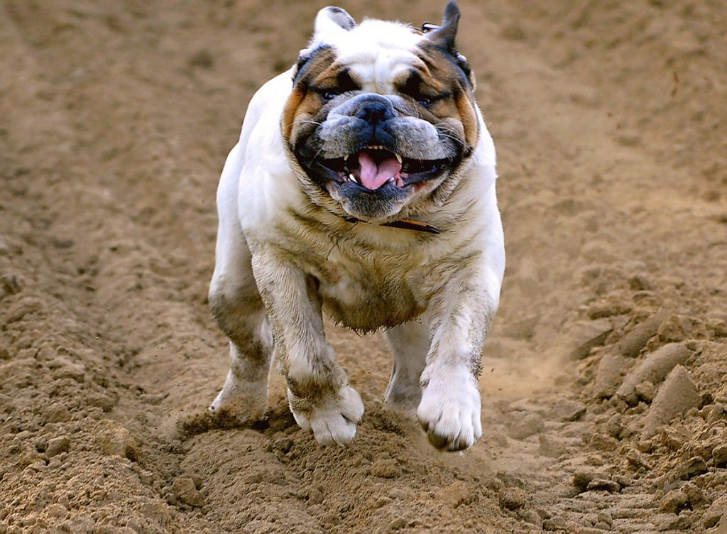Smelly Dog English Bulldog