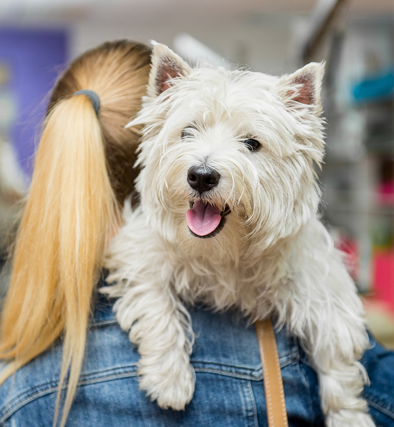 Dog West Highland White Terrier Grooming