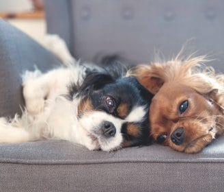 Two dogs resting together on the armchair