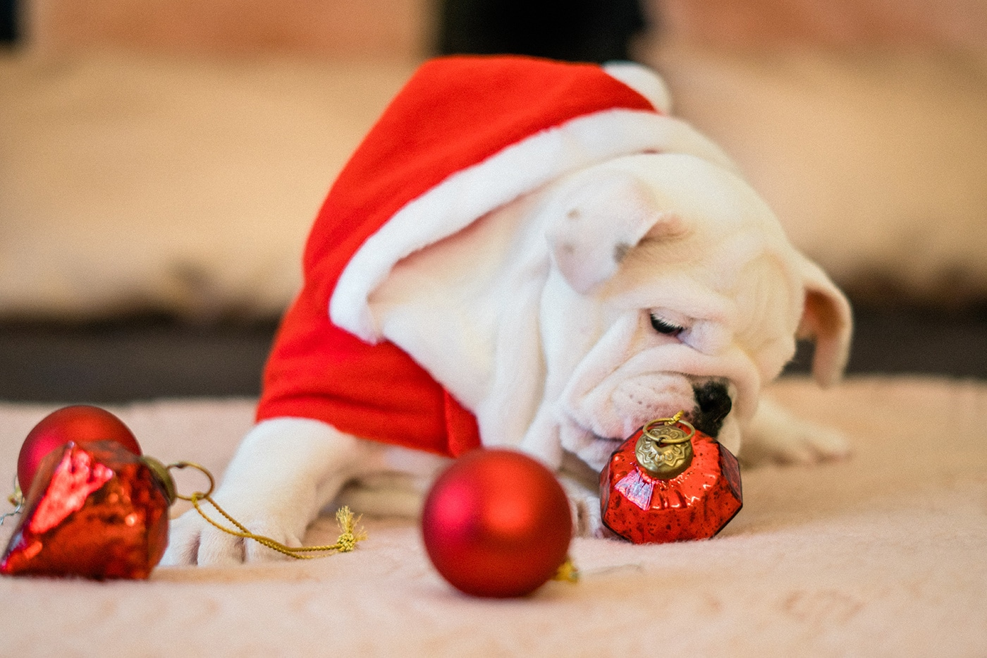 Dangers of holiday season for dogs