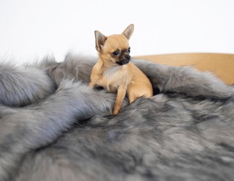 dog on blanket