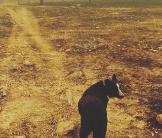 dog in australia fires