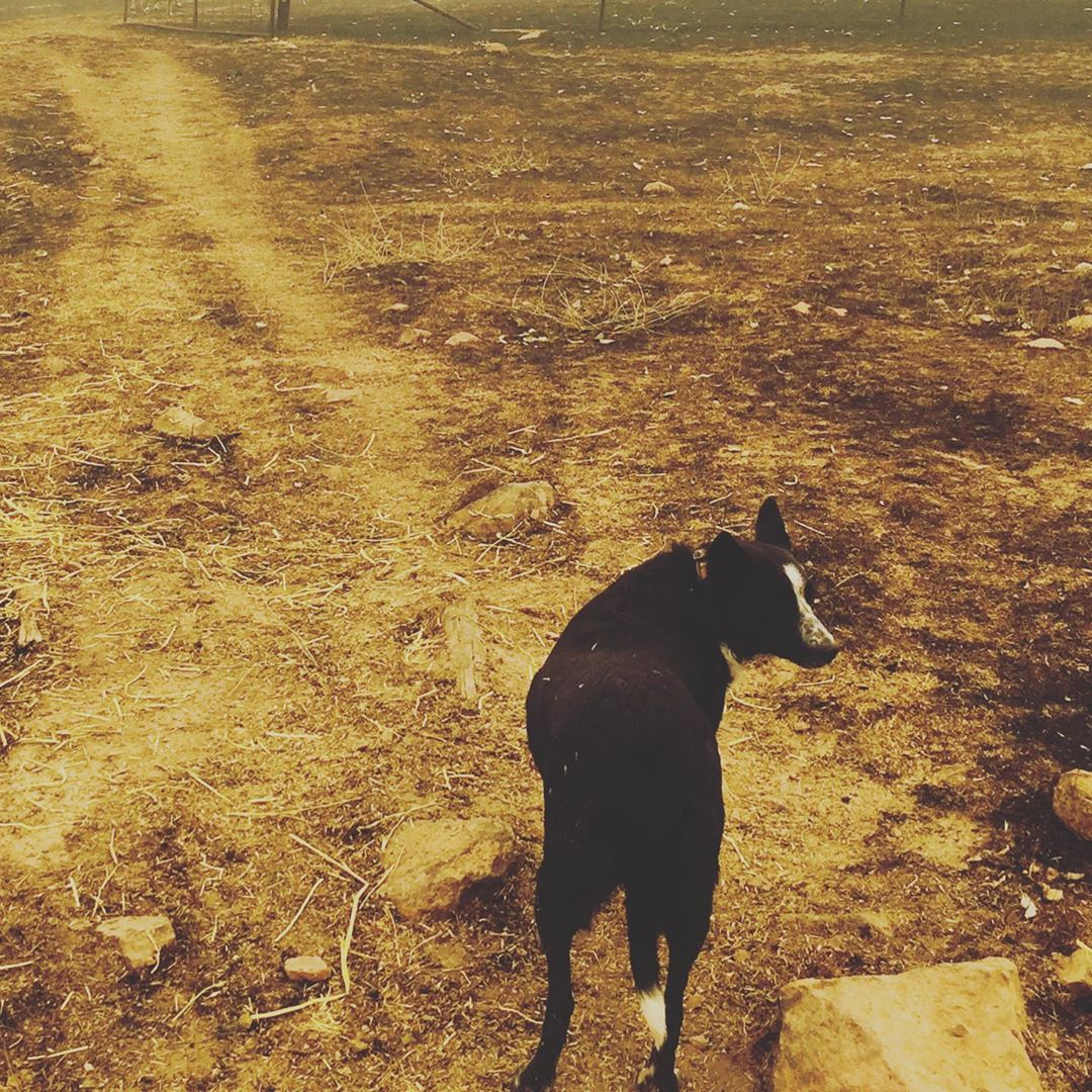 The Story Behind the Viral Video of a Dog Saving 900 Sheep From Australia's Fires
