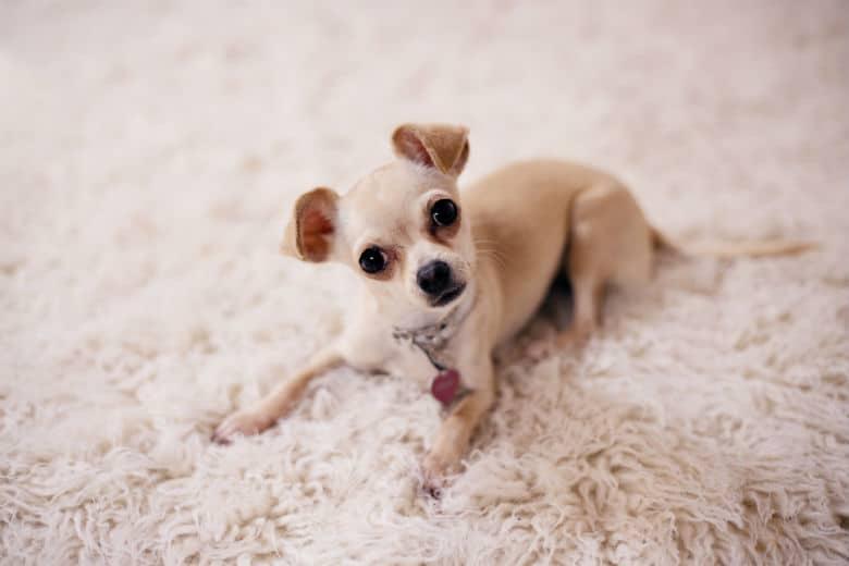 chihauhua on carpet