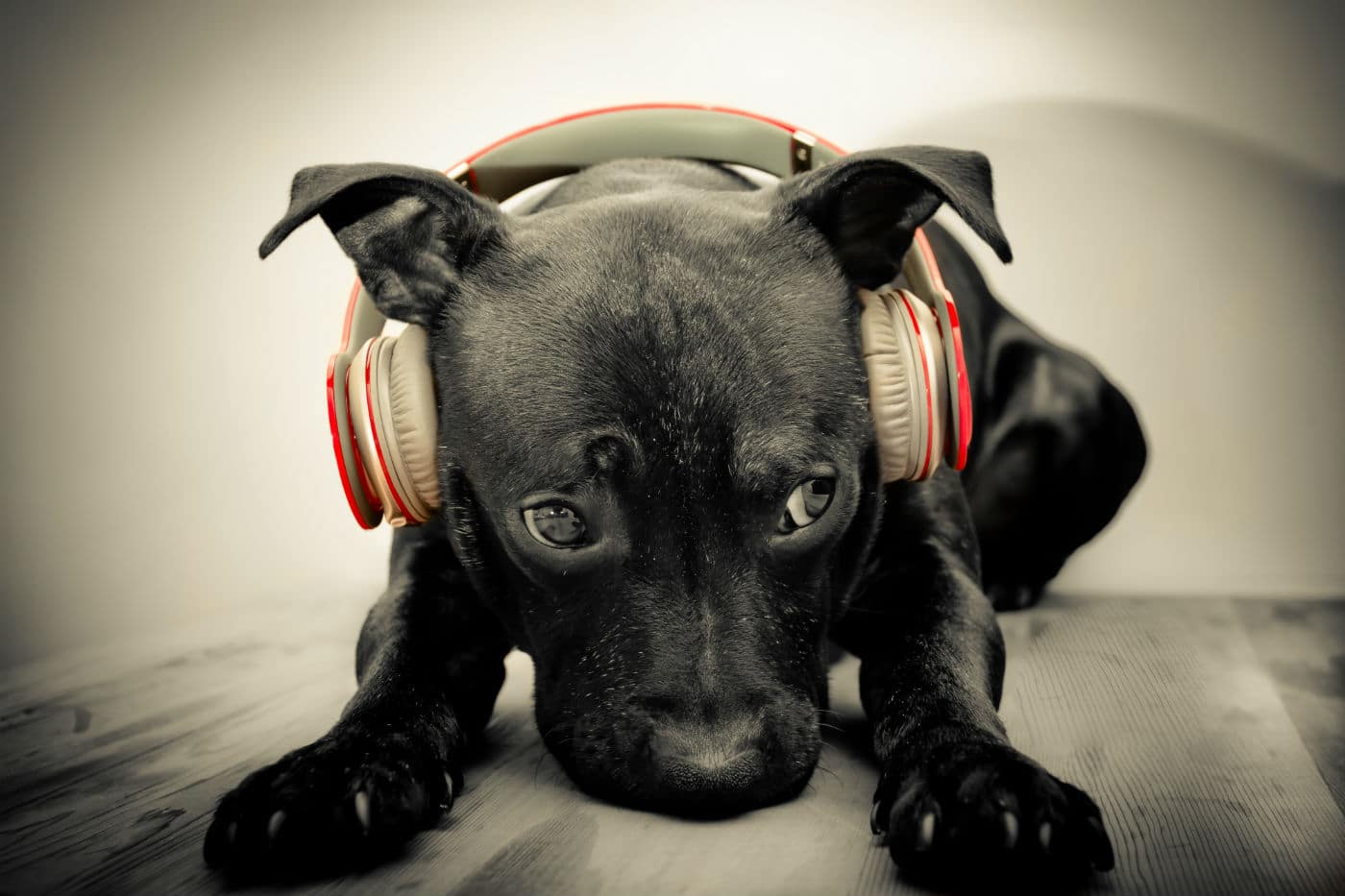 dog listening to music