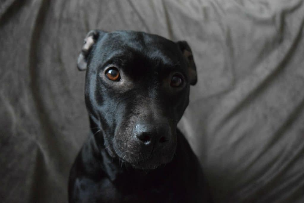 pit bull bully breed dog