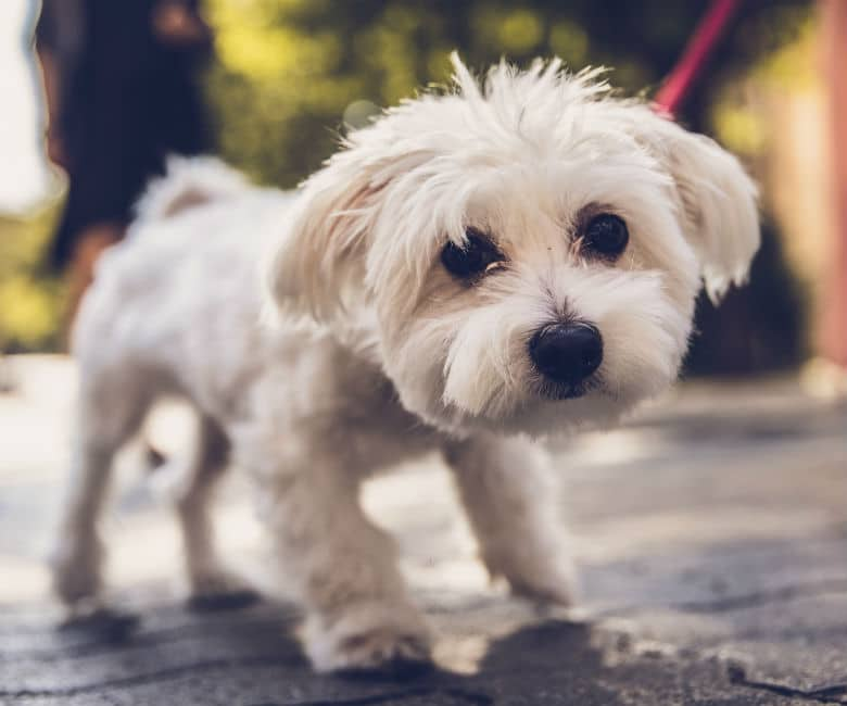 white small dog on walk